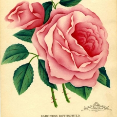 'Baroness Rothschild' rose named after four-year old Beatrice de Rothschild 1868