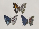 African butterflies described by Walter in Novitates Zoologicae in the 1890s.