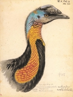 The 'Rothschild' cassowary drawn from life in September 1892 (from Novitates Zoologicae published between 1894 and 1948 and edited by Walter Rothschild)