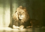 Lion at London Zoo 1910